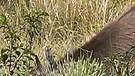 Endangered Mountain Goats