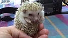 Baby Hedgehogs take a walkabout