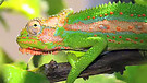 Are you a chameleon believer?