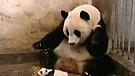 The Sneezing Baby Panda