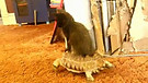 Kitten Riding a Tortoise